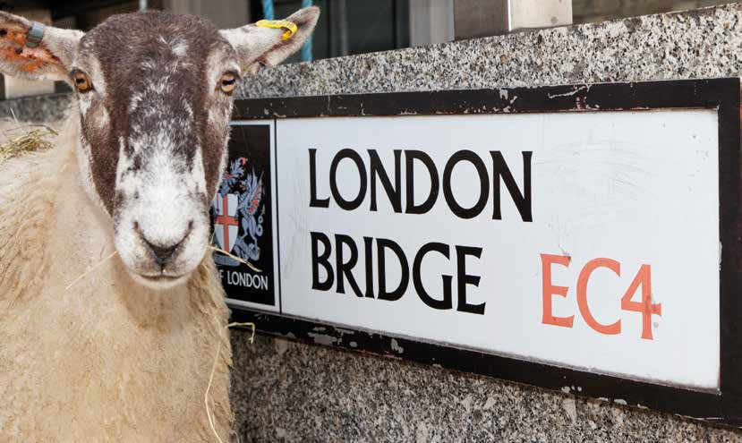 Sheep on London Bridge